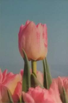 Tulpenfoto Alice Valk - Foto Museum Nagele.jpg